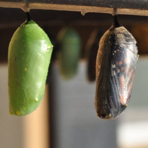 Butterfly and cacoon